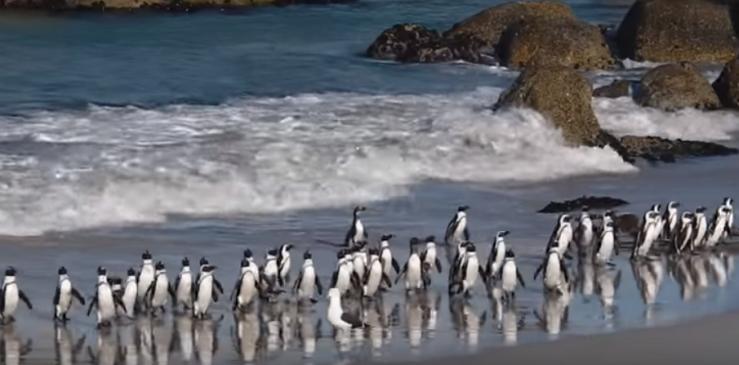 Penguins Kaap